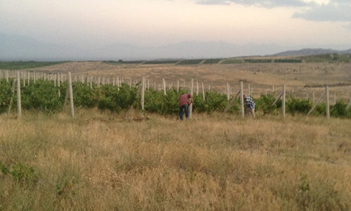winehousevineyards1