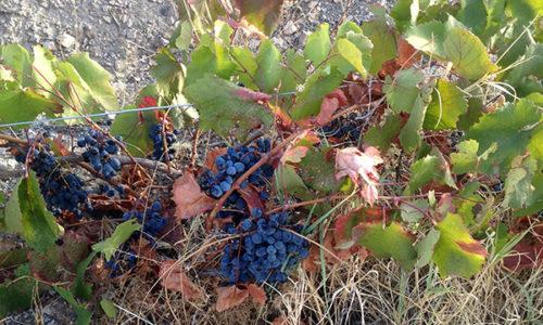 winehousevineyards3